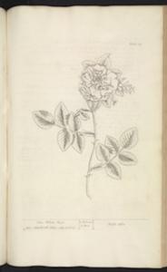 Blackwell White rose