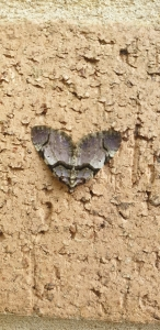 Colour photograph of a grey moth resting on a stone wall