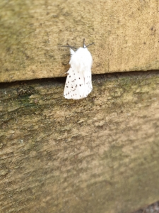 Colour photograph of a bright white moth resting on a wooden surface