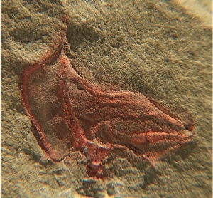 A colour photograph of a cothurnocystis elizae fossil, shown by a reddish-brown boot-shaped imprint on sand-coloured stone
