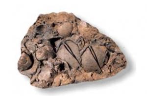 A colour photograph of fossilized brachiopods