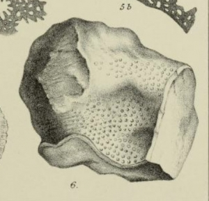 A black and white drawing of a fossil coral taken from a scientific textbook
