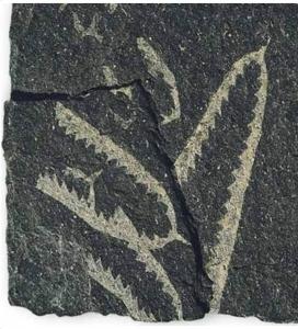 A colour photograph of a fossilized graptolite
