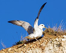 A colour photograph of a Northern Fulmar, a white seabird, similar to a seagull, with its wings outstretched having just landing on a rocky outcrop