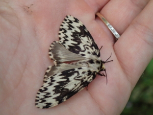 A colour photograph of a moth with detailed black and cream patterning, resting in the palm of a hand