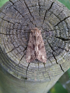 A close-up colour photograph of a brown moth resting on the circular end of a log