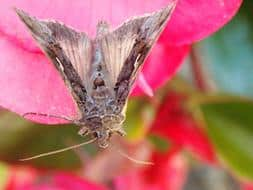 A colour image of a small brown moth resting on a bright pink flower