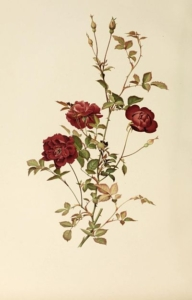 Colour painting of a rose