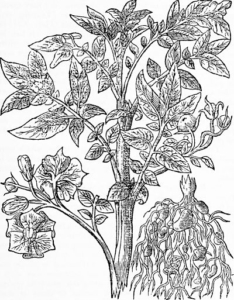 A black and white drawing of a small tree bearing a few orchid-like flowers and a single citrus fruit on the right hand side.